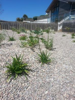 Austin's Gardens : Design Portfolio: Bigbury-on-Sea: Two months later